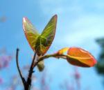 Afghanischer Judasbaum Blatt Cercis griffithii 03
