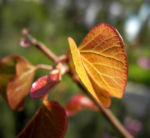 Afghanischer Judasbaum Blatt Cercis griffithii 04