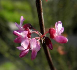 Afghanischer Judasbaum Bluete pink Cercis griffithii 10