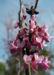 Zurück zum kompletten Bilderset Afghanischer Judasbaum Blüte pink Cercis griffithii
