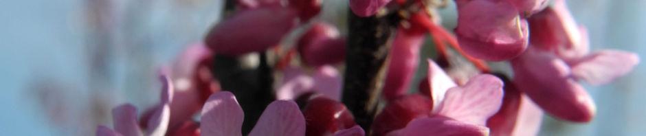 Anklicken um das ganze Bild zu sehen  Afghanischer Judasbaum Blüte pink Cercis griffithii