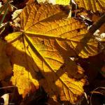 Ahorn Herbstblatt Acer 03