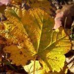 Ahorn Herbstblatt Acer 04 1