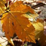Ahorn Herbstblatt Acer 05