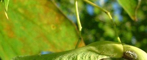 Anklicken um das ganze Bild zu sehen  Ahorn Samen - Acer