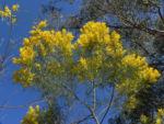 Akazie Bluete gelb Acacia angusta 04