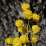 Akazie Bluete gelb Acacia angusta 09