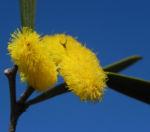Akazie Bluete gelb Acacia neurophylla 05