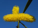 Akazie Bluete gelb Acacia neurophylla 06