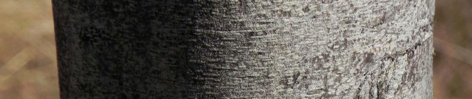 highlands-wattle-akazie-bluete-gelb-acacia-angusta