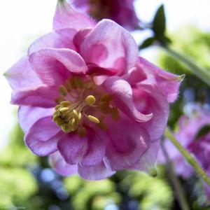 Akelei rosa Bluete Aquilegia vulgaris 01