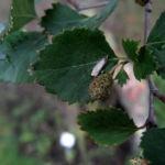 Alaska Birke Blatt Betula neoalaskana 02