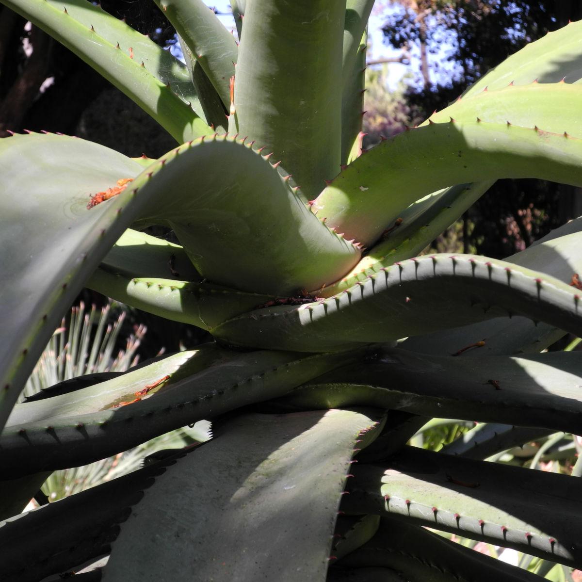 Aloe excelsa Bluete orange Aloe excelsa