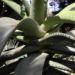 Zurück zum kompletten Bilderset Aloe excelsa Blüte orange