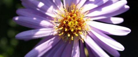Anklicken um das ganze Bild zu sehen  Alpen Aster Blüte helllila - Aster alpinus