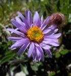 Alpen Aster Bluete lila Aster alpinus 01