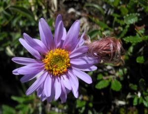 Alpen Aster Bluete lila Aster alpinus 02