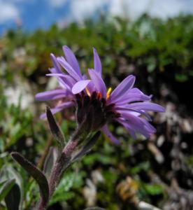 Alpen Aster Bluete lila Aster alpinus 04