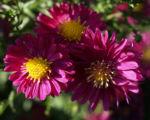 Alpen Aster Bluete pink Aster alpinus 07