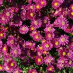 Alpen Aster Bluete pink Aster alpinus 09 3