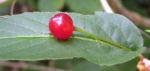 Alpen Heckenkirsche Beere rot Lonicera alpigena 02