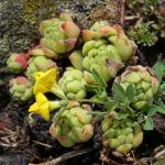 Alpen Hornklee Bluete gelb Lotus alpinus 28