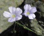 Alpen Lein Bluete hellblau Linum alpinum 03