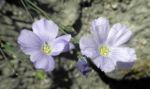 Alpen Lein Bluete hellblau Linum alpinum 06