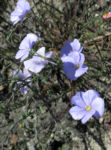Bild:  Alpen-Lein Blüte hellblau Linum alpinum