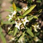 Bild:  Alpen-Seidelbast Strauch Blüte weiß Daphne alpina