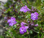 Alpen Steinquendel Bluete lila Acinos alpinus 03