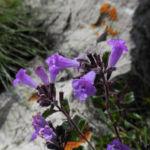 Alpen Steinquendel Bluete lila Acinos alpinus 04
