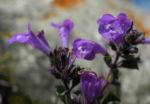 Alpen Steinquendel Bluete lila Acinos alpinus 07
