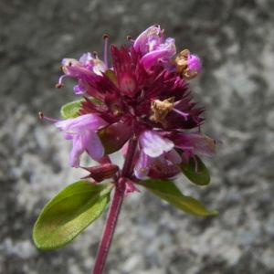 Alpen Thymian Bluete pink Thymus praecox 28