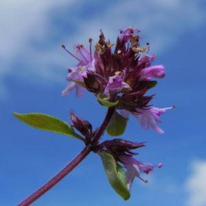 Alpen Thymian Bluete pink Thymus praecox 33