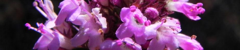 Anklicken um das ganze Bild zu sehen  Alpen-Thymian Blüte pink Thymus praecox