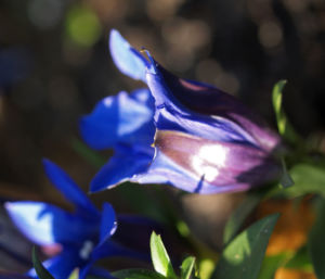 Alpenenzian Bluete blau Gentiana alpina 08