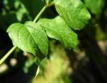 Amerikanische Klettertrompete Blatt gruen Campsis radicans 03