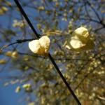 Amerikanische Pimpernuss Samen Kapsel Staphylea trifolia 1