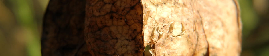 amerikanische-pimpernuss-staphylea-trifolia