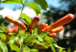 Amerikanische Trompetenblume Bluete rot Campsis radicans 07