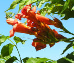 Amerikanische Trompetenblume Bluete rot Campsis radicans 08