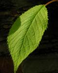 Amur Traubenkirsche Blatt gruen Prunus maackii 13