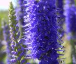 Anis Riesenysop Bluete blau Agastache foeniculum 11