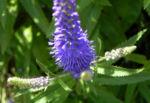 Anis Riesenysop Bluete blau Agastache foeniculum 13