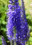 Anis Riesenysop Bluete blau Agastache foeniculum 15