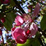 Apfel vielbluetig rosa Bluete Malus floribunda 01