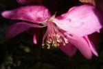 Apfel vielbluetig rosa Bluete Malus floribunda 02