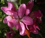 Apfel vielbluetig rosa Bluete Malus floribunda 05
