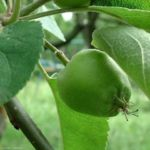 Apfel Malus domestica 02 3